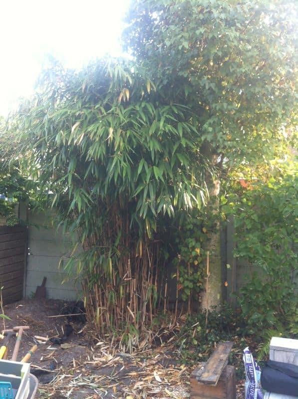 Bamboe uitgraven