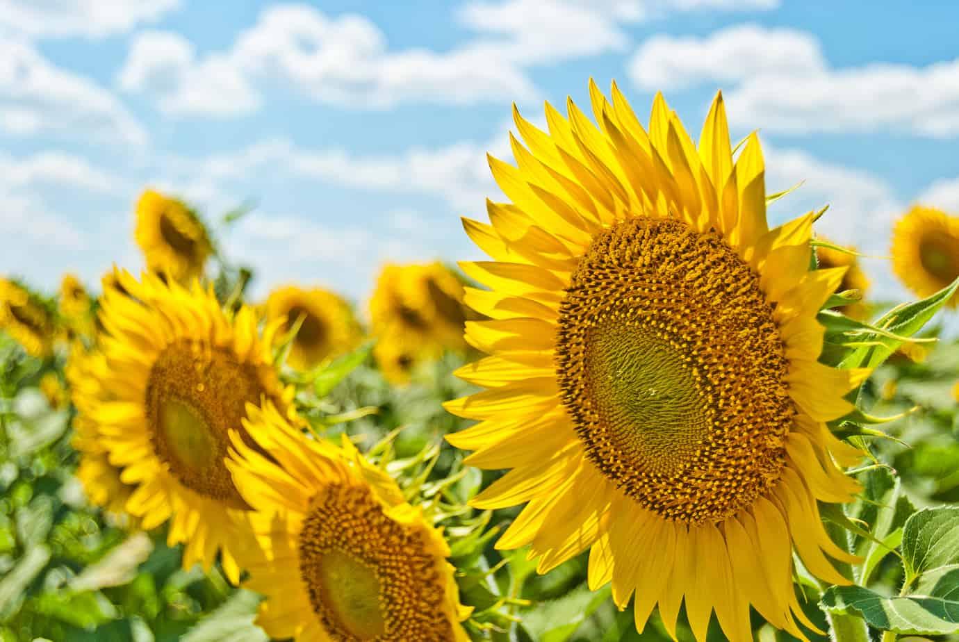 Impressie van de zomer met zonnebloemen