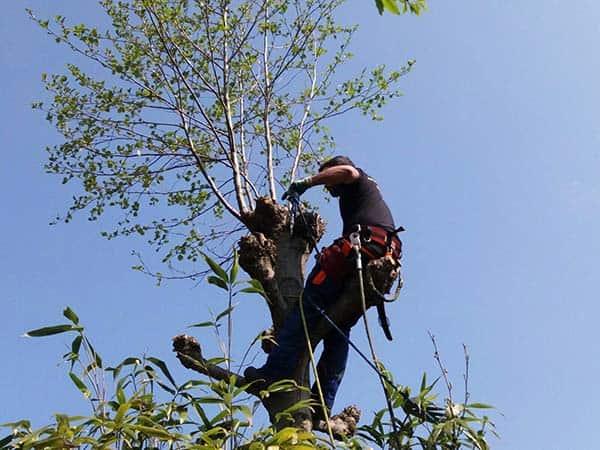Boomverzorger in de boom aan het snoeien