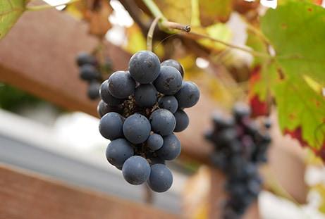 Populaire tuinplant: druif