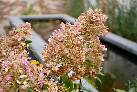 Populaire tuinplant: hortensia