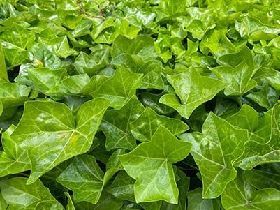 Populaire tuinplant: hedera