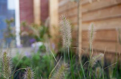 Populaire tuinplant: lampenpoetsersgras