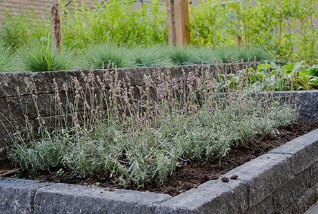 Populaire tuinplant: lavendel