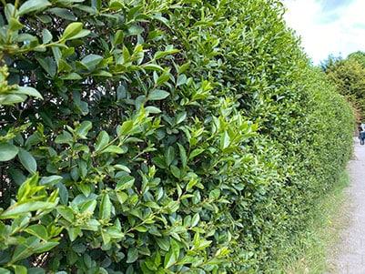 Populaire tuinplant: liguster