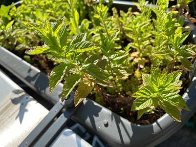 Populaire tuinplant: munt