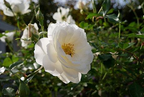 Populaire tuinplant: roos